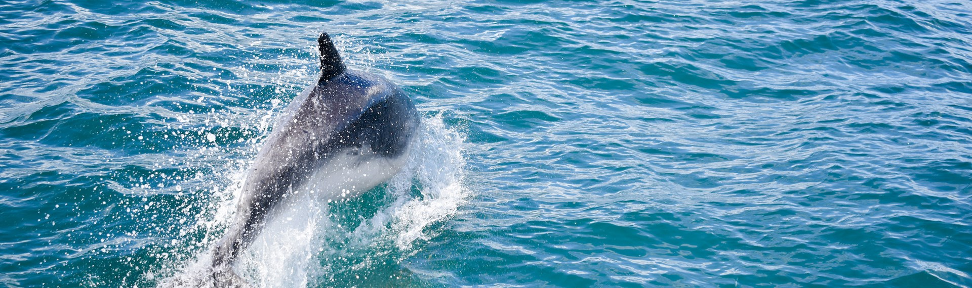 Dolphin spotted during Pelorus Mail Boat Cruise in the Pelorus Sound/Te Hoiere.