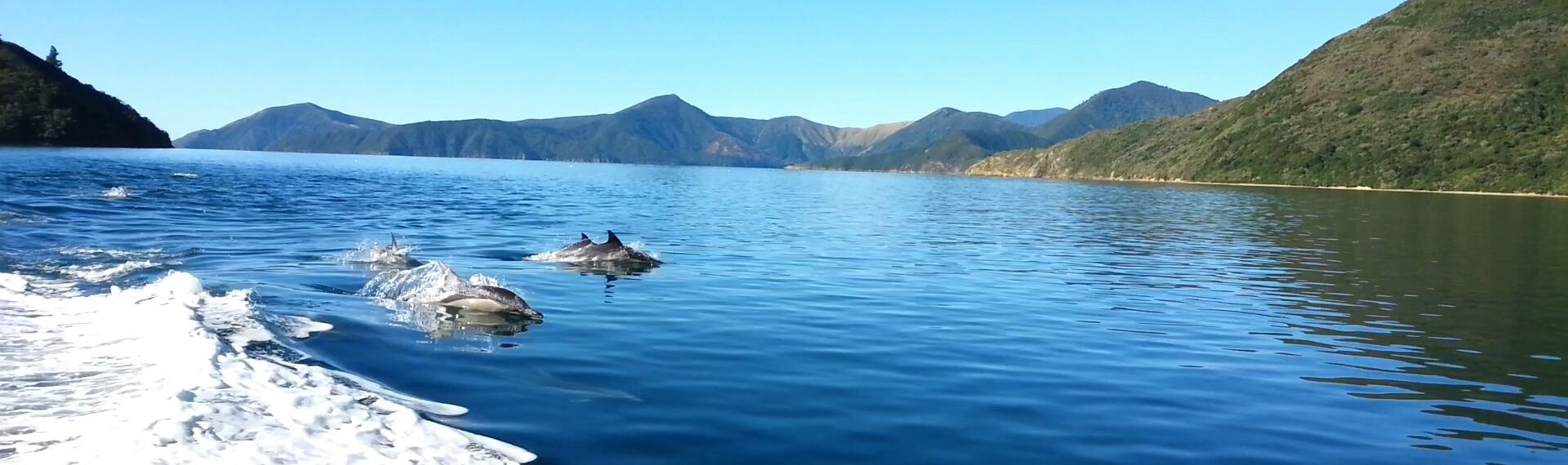 Another frequent dolphin pod spotting in the wake of our Pelorus Mail Boat.
