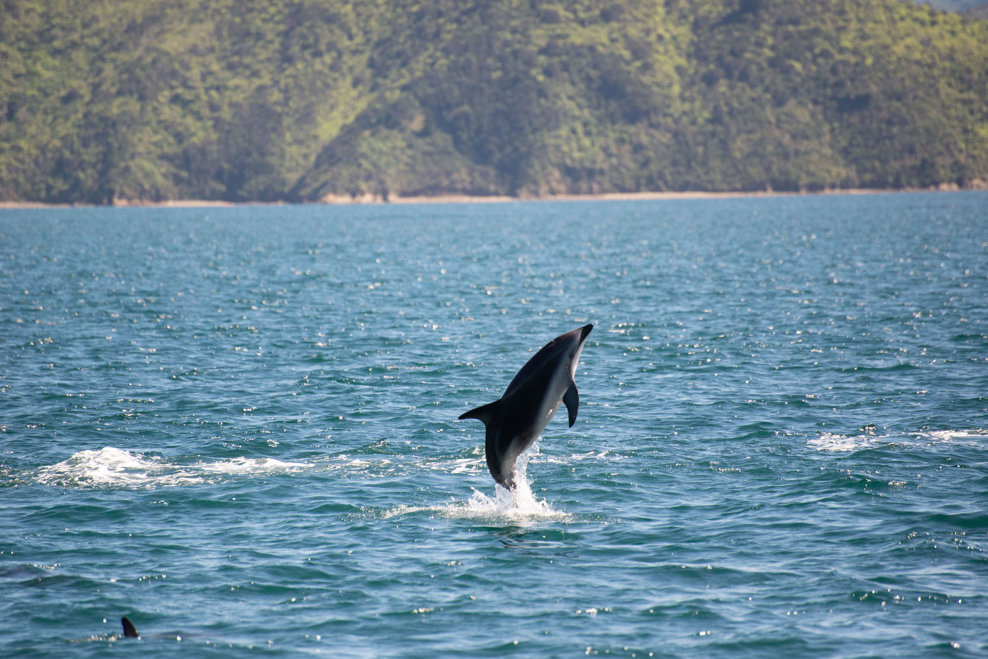 Jumping dolphin spotted from the Pelorus Mail Boat.