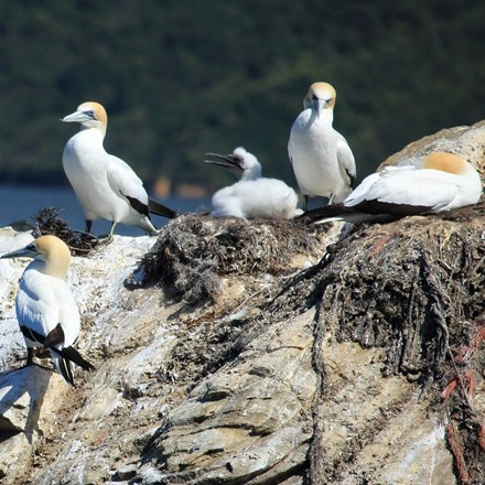 Gannet chicks on a rock in the Marlborough Sounds.
