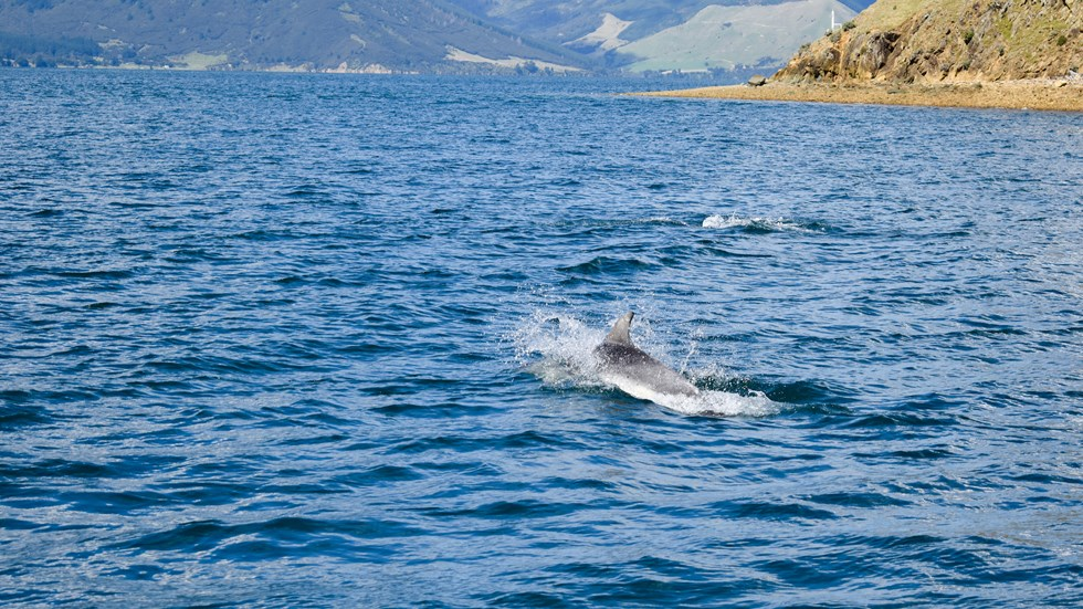 Dolphin spotted in the water during Pelorus Mail Boat Cruise.